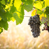 Bunches of ripe grapes growing in vineyard at sunset. Almost ready for harvest. Royalty Free Stock Photos