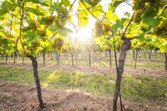 Bunches of ripe grapes growing in vineyard at sunset. Almost ready for harvest. Stock Photo
