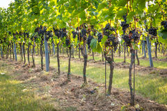 Bunches of ripe grapes growing in vineyard at sunset. Almost ready for harvest. Royalty Free Stock Photography