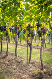 Bunches of ripe grapes growing in vineyard at sunset. Almost ready for harvest. Stock Images