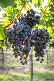 Bunches of ripe grapes growing in vineyard at sunset. Almost ready for harvest. Stock Photos