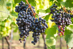 Bunches of ripe grapes growing in vineyard at sunset. Almost ready for harvest. Royalty Free Stock Images