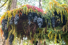 Ripe grapes hanging on tree display in food festival Royalty Free Stock Photo