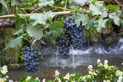 Ripe grapes hanging on tree display in food festival Stock Images