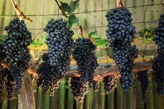Ripe grapes hanging on tree display in food festival Royalty Free Stock Photos