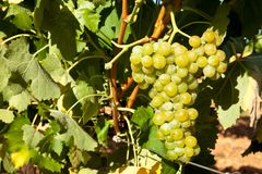 Ripe grapes hanging on the vine Stock Images