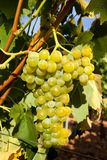 Ripe grapes hanging on the vine Stock Photos