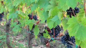 Ripe grapes hanging on the vine branches stock video footage