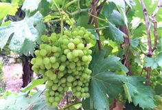 Ripe grapes hung on vineyards of grape trees royalty free stock images