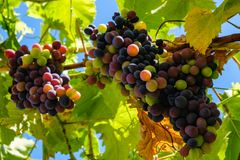 Ripe grapes hung on vineyards grape trees. In the morning vineyard. Ripe grapes hung on vineyards of grape trees. In the morning vineyard stock photo
