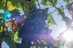 Ripe grapes hung on vineyards grape trees. In the morning vineyard. Ripe grapes hung on vineyards of grape trees. In the morning vineyard stock images