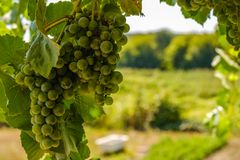 Ripe grapes hung on vineyards grape trees. In the morning vineyard. Ripe grapes hung on vineyards of grape trees. In the morning vineyard royalty free stock photos