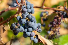 Ripe grapes hung on vineyards of grape trees. In the morning vineyard stock images