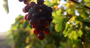 Ripe grapes with leaves on the branches close-up, autumn. With the wind and the sun in the background.4K stock video