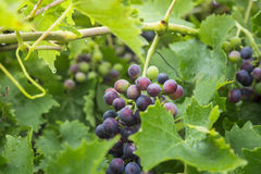 Ripe grapes with leaves in garden Stock Images