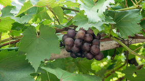 Ripe grapes with  leaves Royalty Free Stock Photos