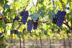 Ripe grapes. In morning light Stock Photo