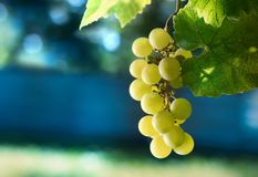 Ripe grapes in the nature. Branch of green grapes close-up stock images