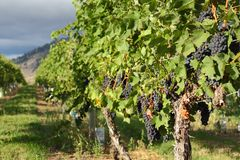 Ripe Grapes, Okanagan Vineyard, British Columbia. Ripe bunches of red grapes hang on the vine in a vineyard ready to be harvested. Okanagan Valley near Osoyoos Royalty Free Stock Photo