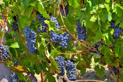 Ripe grapes. Piedmont, Italy. Stock Photography