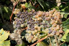 Ripe grapes and raisins on the vine. Royalty Free Stock Photo