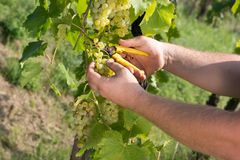 Ripe grapes, ready for the autumn harvest stock photos