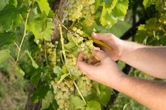 Ripe grapes, ready for the autumn harvest royalty free stock images