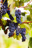 Ripe Grapes Ready for Harvest Royalty Free Stock Photography