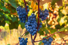 Ripe grapes ready for harvesting Stock Images