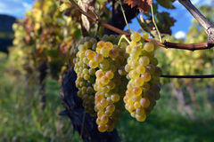Ripe grapes. Ready to pick in autumn in the south moravía Royalty Free Stock Images