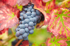 Ripe grapes for red wine in fall Stock Image
