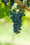 Ripe Grapes Right Before Harvest In The Summer Sun Royalty Free Stock Photography