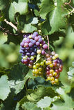 Ripe grapes in south france Stock Image