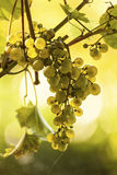 Ripe grapes in sunlight royalty free stock photos