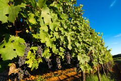 Ripe Grapes in Sunny Vine Yard Royalty Free Stock Photography