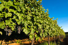 Ripe Grapes in Sunny Vine Yard Stock Photography