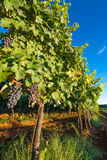 Ripe Grapes in Sunny Vine Yard Royalty Free Stock Image