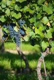 Ripe Grapes in Sunny Vine Yard Royalty Free Stock Photo