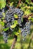 Ripe Grapes in Sunny Vine Yard Stock Photos
