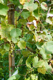 Ripe Grapes in Sunny Vine Yard.Grapes growing on the vine. Royalty Free Stock Photo