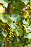 Ripe Grapes in Sunny Vine Yard.Grapes growing on the vine. Royalty Free Stock Images