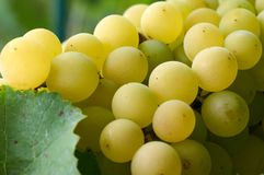 Ripe Grapes in Sunny Vine Yard.Grapes growing on the vine. Stock Photos