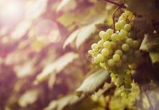 Ripe grapes at sunset stock image