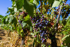 Ripe grapes in the Tuscany Italy Stock Image