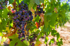 Ripe grapes in the Tuscany Italy Royalty Free Stock Images