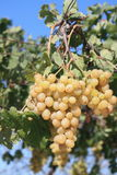 Ripe Grapes On The Vine stock photography
