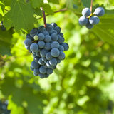 Ripe grapes on the vine. Several bunches of ripe grapes on the vine (selective focus Royalty Free Stock Photography