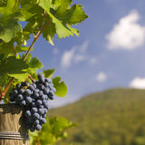 Ripe grapes on the vine. Several bunches of ripe grapes on the vine (selective focus Stock Photo