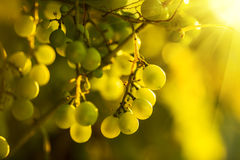 Ripe grapes on a vine with bright sun shining through the green Royalty Free Stock Image