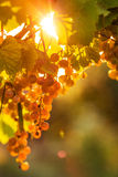 Ripe grapes on a vine with bright sun shining through the green Royalty Free Stock Images